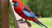 Воспитание и общение с попугаем