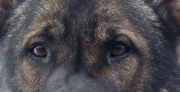 Как видят собаки и какое зрение у собак?