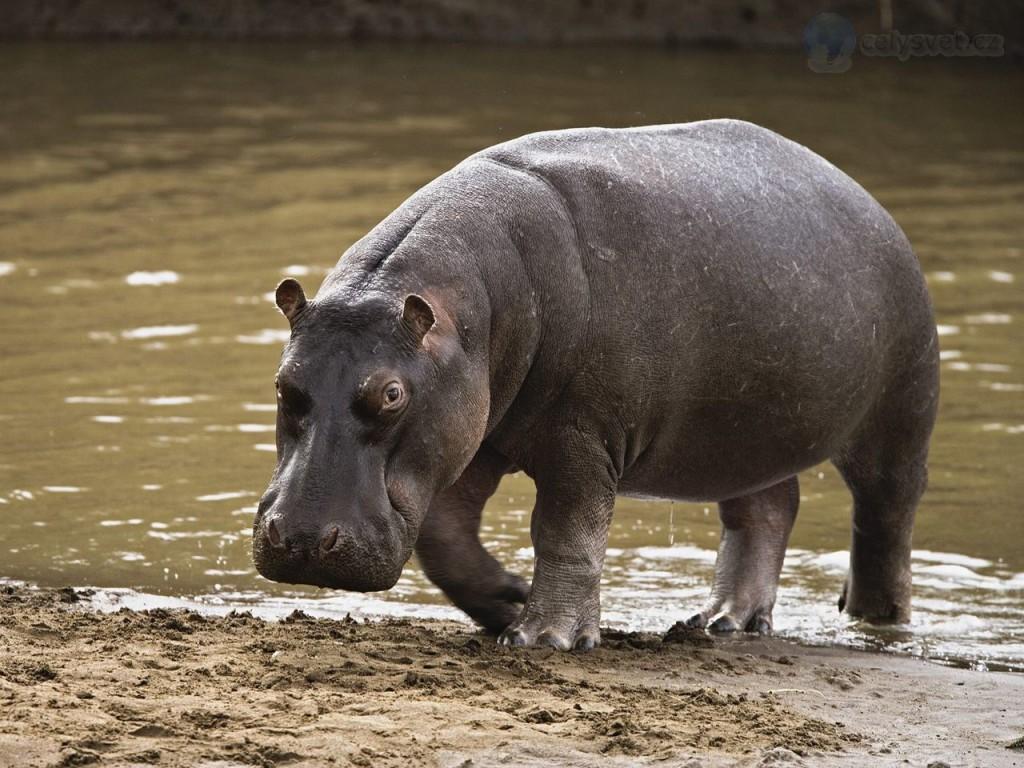 hippopotamus--masai-mara--kenya