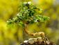 Домашнее денежное дерево, как его вырастить и ухаживать