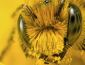 Как пчелы добывают мед